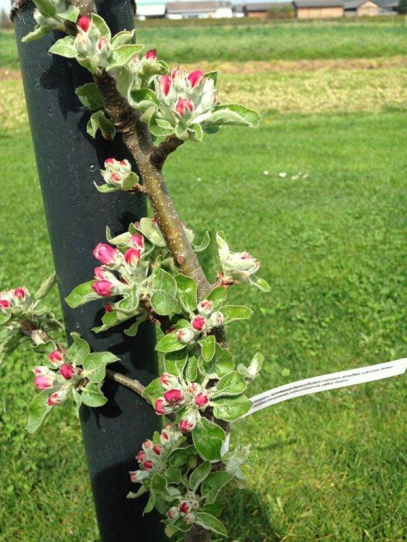 Apfel Bolero