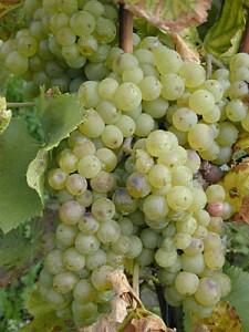 Weintraube Gutedel Weiss