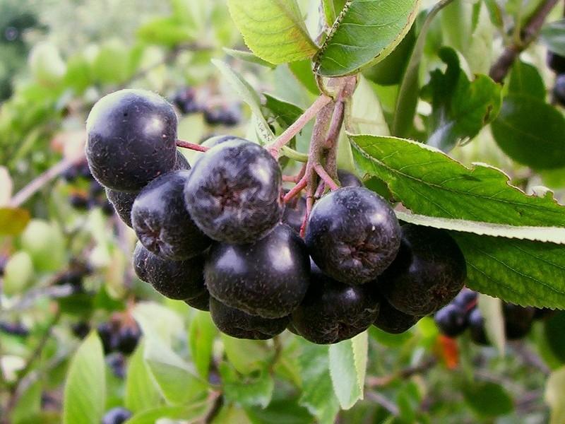 Apfelbeere Aronia melanocarpa nero