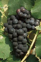 schlaraffentraube-dirju-campbell-early-fruehe-americano-oder-tessinertraube1