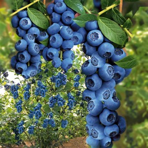 Trauben_Heidelbeere_Blue_Berry